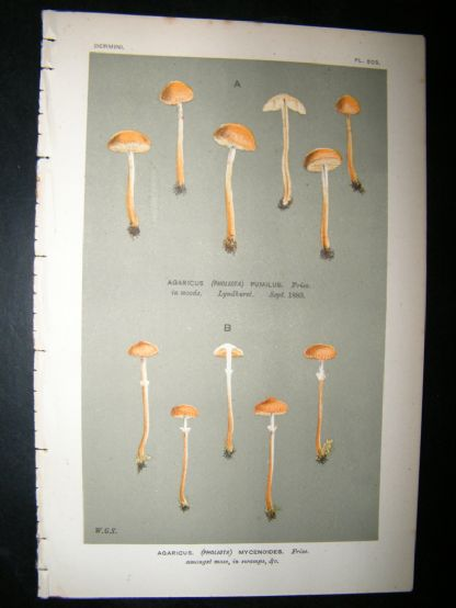 Cooke British Fungi 1880's Antique Mushroom Print. Agaricus Mycenoides 503 | Albion Prints